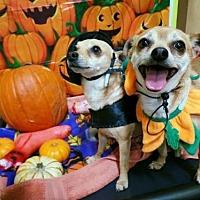 Chihuahua Mix Dog for adoption in Tucson, Arizona - Beans & Daisy / Courtesy Posting