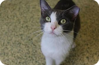 Domestic Shorthair Cat for adoption in Indianapolis, Indiana - Danni