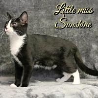 Domestic Shorthair Cat for adoption in Houston, Missouri - Little Miss Sunshine