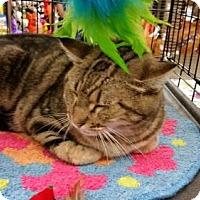 Domestic Shorthair Cat for adoption in Houston, Texas - Brenda