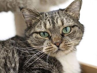 Domestic Shorthair Cat for adoption in Raleigh, North Carolina - Patty Cake