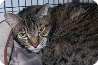 Domestic Shorthair Cat for adoption in Brooklyn, New York - Harry