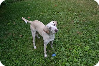 Hound (Unknown Type)/Labrador Retriever Mix Dog for adoption in Broadway, New Jersey - TJ