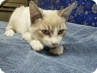 Domestic Shorthair Kitten for adoption in Trevose, Pennsylvania - Kaboodle