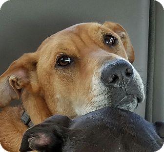 Labrador Retriever/Beagle Mix Dog for adoption in Burlington, Vermont - A - SCOOTER