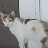 Calico Cat for adoption in Griffin, Georgia - Hope