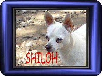 Chihuahua Dog for adoption in Cushing, Oklahoma - x SHILOH adopted