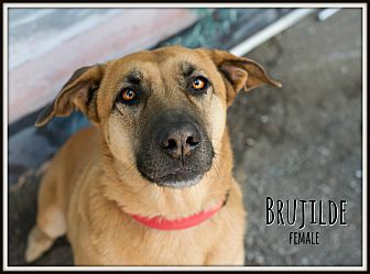 Labrador Retriever/Belgian Shepherd Mix Dog for adoption in Fallbrook, California - Brujilde