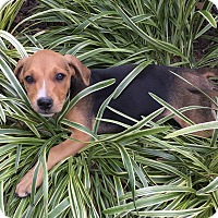 Adopt A Pet :: Maple - Boston, MA