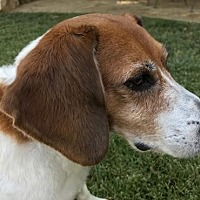Adopt A Pet :: Riggles aka Wrigley - Apple Valley, CA
