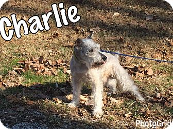 Schnauzer (Miniature) Mix Dog for adoption in Millersville, Maryland - Charlie