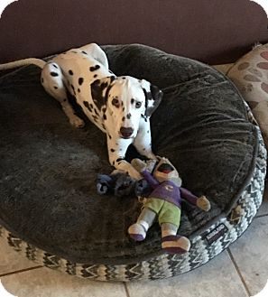 Dalmatian Puppy for adoption in Mandeville Canyon, California - Buddy