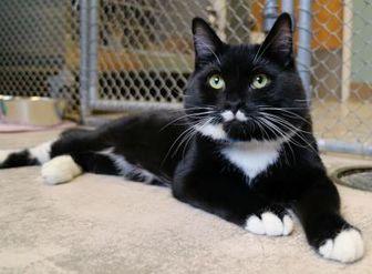 Domestic Shorthair/Domestic Shorthair Mix Cat for adoption in Auburn, Alabama - Manhattan