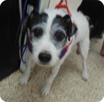 Jack Russell Terrier Dog for adoption in Austin, Texas - Rufus in Houston, TX