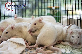 Rat for adoption in Alexandria, Virginia - Widget