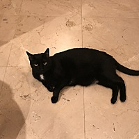 Domestic Mediumhair Cat for adoption in Chino, California - Bitterman
