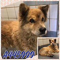 Chow Chow Mix Dog for adoption in San Antonio, Texas - A445999