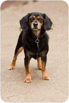 Cavalier King Charles Spaniel/Dachshund Mix Dog for adoption in Portland, Oregon - Vinci