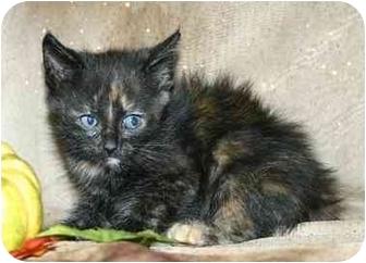 Domestic Shorthair Kitten for adoption in Ladysmith, Wisconsin - Kora