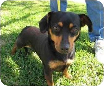 Dachshund Dog for adoption in Sugar Land, Texas - Socks
