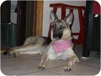 German Shepherd Dog Dog for adoption in Green Cove Springs, Florida - Anna