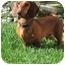 Photo 1 - Dachshund Dog for adoption in Garden Grove, California - Brutus