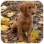 Photo 1 - Golden Retriever Puppy for adoption in Gapland, Maryland - Bobbi