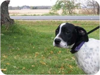 Pointer Mix Puppy for adoption in Menasha, Wisconsin - Purdy