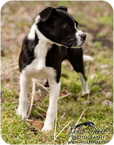 Border Collie Mix Puppy for adoption in Oliver Springs, Tennessee - Gracie
