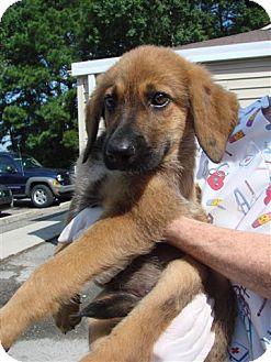 German Shepherd Dog/Hound (Unknown Type) Mix Puppy for adoption in Baltimore, Maryland - Peeta
