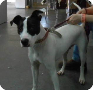Boxer/Terrier (Unknown Type, Medium) Mix Dog for adoption in Henderson, Kentucky - Rex