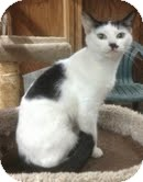 Domestic Shorthair Cat for adoption in Modesto, California - Lucile