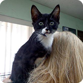 Domestic Shorthair Kitten for adoption in Thousand Palms, California - Monkey
