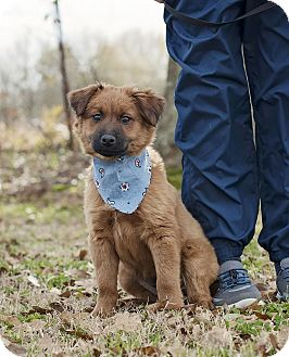 Labrador Retriever/Chow Chow Mix Puppy for adoption in Portsmouth, Rhode Island - Expresso-w/video!
