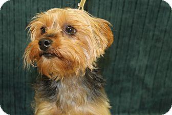 Yorkie, Yorkshire Terrier Mix Dog for adoption in Broomfield, Colorado - Jamocha