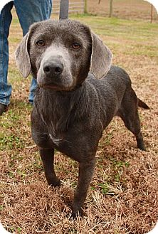 Weimaraner Mix Dog for adoption in Spring Valley, New York - Della (Reduced for Howlidays)