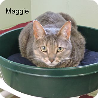 Domestic Shorthair Cat for adoption in Slidell, Louisiana - Maggie