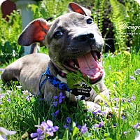 Adopt A Pet :: Avenger - Southampton, PA