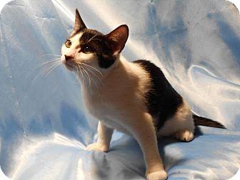 Domestic Shorthair Cat for adoption in Sarasota, Florida - Ursula