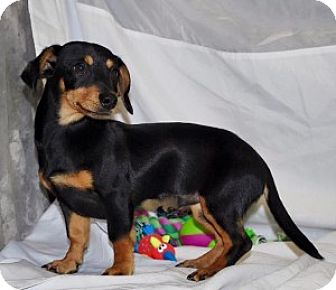Dachshund Mix Puppy for adoption in Chalfont, Pennsylvania - Kevin