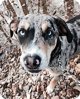 Catahoula Leopard Dog Mix Dog for adoption in Goodlettsville, Tennessee - Pixie