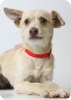 Terrier (Unknown Type, Small) Mix Dog for adoption in Sacramento, California - Jerry!