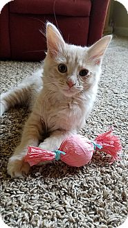 Domestic Longhair Kitten for adoption in Nashville, Tennessee - Mercury