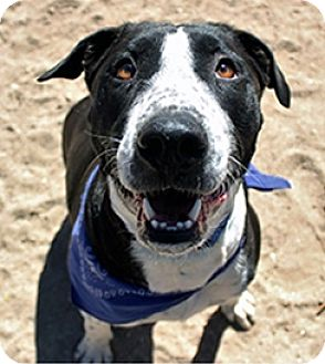Border Collie/Labrador Retriever Mix Dog for adoption in Tucson, Arizona - Cassius