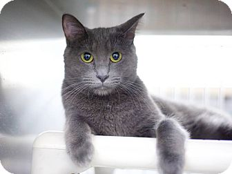 Russian Blue Cat for adoption in Los Angeles, California - Willow
