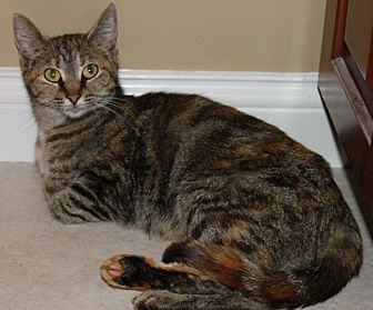 Domestic Shorthair Cat for adoption in Shelbyville, Kentucky - Mabel
