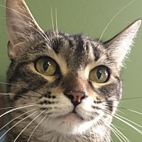 Domestic Shorthair Cat for adoption in Auburn, California - Trish