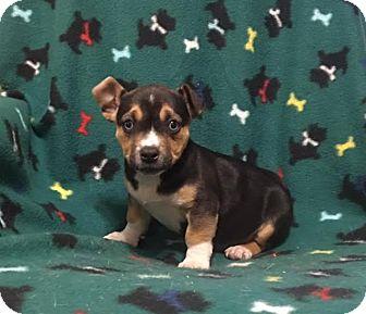Corgi/Terrier (Unknown Type, Medium) Mix Puppy for adoption in Foster, Rhode Island - Vienna