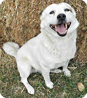 Spitz (Unknown Type, Small)/Husky Mix Dog for adoption in Chicago, Illinois - Turnip