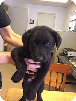 Labrador Retriever/Newfoundland Mix Puppy for adoption in Fair Oaks Ranch, Texas - Kody